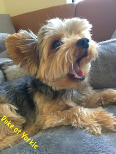 Duke of Yorkie - No, I'm not tired. Let's play