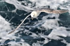 Fulmars are pelagic (meaning they live entirely at sea) outside of their breeding months. When they're hunting (as opposed to scavenging) they are ocean divers, plunging several metres under the water to nab prey, or plucking them out from just under the surface.