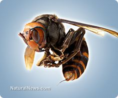 In China, giant hornets kill 28 and injure hundreds more...They are also a threat to honey bees, which they will hunt for food.With large mandibles that can decapitate a bee in one strike, a handful of giant hornets are capable of swiftly devastating an entire bee colony.