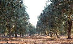 Our olive grove in summertime!