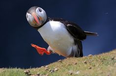 """Atlantic puffin photographed """"gallivanting"""" on Skomer island near Pembrokeshire in Wales (UK). In August 2007, the Atlantic Puffin was proposed as the official symbol of the Liberal Party of Canada after a leader observed a colony of these birds and became fascinated by their antics."""