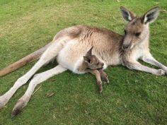 Kangaroo & baby. Adorable.