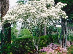 """The Chinese fringe tree is not very cold tolerant.   Chionanthus retusus  Gardener's Note: There also is a native species (Chionanthus virginicus) that is much more cold tolerant than the Chinese. Even as far south as zone 8, winter damage can be seen on retusus and not virginicus.  Deciduous Tree with """"fringy"""" white flowers in spring, flowers are larger on male plants  Female plants produce a blue/black berry in late summer  Plant in average to moist soil  Plant in full sun to light shade…"""