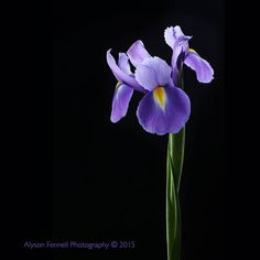 Photo Iris Flower by Alyson Fennell on 500px