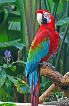Birds Photograph – Parrot by Dawn Harris The Effective Pictures We Offer You About Birdwatching platform A quality picture can … Tropical Birds, Exotic Birds, Colorful Birds, Exotic Pets, Beautiful Birds, Animals Beautiful, Nicolas Vanier, Animals And Pets, Cute Animals