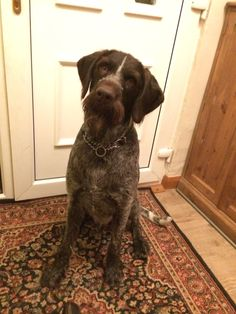 German wirehaired pointer wanting food ❤️ #gwp #puppy #love