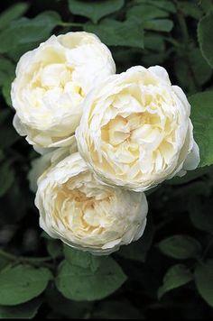 Rose Glamis Castle® (im grossen Container) 17, 50 : Reinweisse schalenförmige Blüten, kompakter Wuchs - Buschrose Glamis Castle®