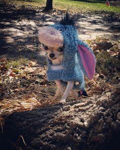 #teacup #chihuahua #microchihuahua #cute #dog #teacupchihuahua #famouschihuahua #tinydog #eyeore