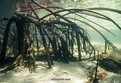 Red Mangrove roots... the only good picture I can find, they don't seem to look this cool usually