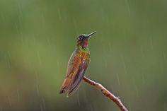 Foto beija-flor-rubi (Clytolaema rubricauda) por Ivan Angelo | Wiki Aves - A Enciclopédia das Aves do Brasil