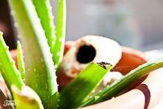 Cómo plantar y cuidar una planta de aloe vera - Ideas para jardines y decoración