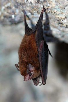 Lesser Dog-like Bat [Peropteryx macrotis] Taken by Anton Sorokin (Original at: https://www.flickr.com/photos/26500525@N08/4291334206/)