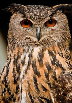 Eurasian Eagle Owl (Photo by Mick Baxter)
