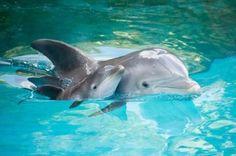 Ist das niedlich, wie ein kleines Delphin - Baby  an der Seite seiner Mami  schwimmen lernt. ☺