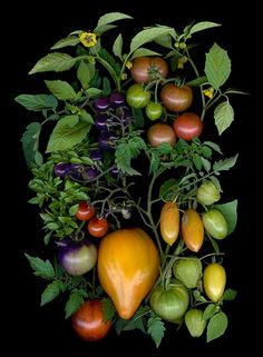 Ellen Hoverkamp: I scanned these tomatoes from the Mass. Elm Bank Kitchen Garden a few days ago. I'll be selling it tomorrow at Terrain in Westport, CT. Organic Vegetables, Fruits And Vegetables, Fresh Mint Leaves, Arte Floral, Fruit And Veg, Fresco, Food Styling, Organic Gardening, Food Art
