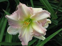 Polymerous Daylily Photos » BRISCOS' BEST BLOOMS - Super Slogan