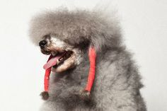 Ranger the miniature poodle, with his ears bound in elastic bands, pre show. Photographed by Paul Nathan