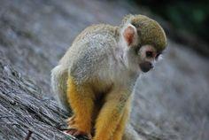 Fonds d'écran Animaux > Fonds d'écran Singes petit singe par jny86 - Hebus.com