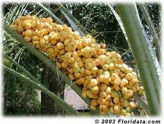 pindo palm fruit, edible. How to germinate.