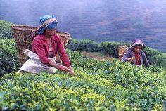 Women picking tea, Ilam, Nepal