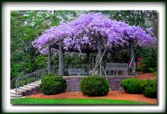 Love wisteria, especially like this!