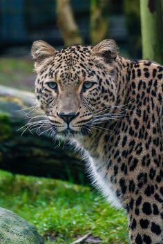 Persian Leopard (Perzische Panter)