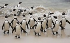 Some basic and interesting facts about the African penguin await you in this article. Read them and know about this amazing bird of the south-western coast of Africa. Penguin Facts, African Penguin, Western Coast, Animals, Image, Animales, Animaux, Animal, Animais