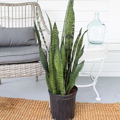 The tall, broad leaves of the Sansevieria zylanica boast different shades of vibrant greens. This plant easily fits into a corner, but you'll probably want to place this beauty front and center where you can always see it. Potted Plants, Cactus Plants, Indoor Plants, Organic Ceramics, Beautiful Snakes, Plant Lighting, Snake Plant, Plant Sale, Drought Tolerant