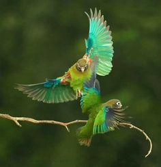 Beautiful brown hooded parrots ♥