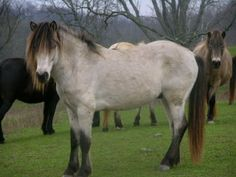 Gotland Pony - stallion Jumpin' Jack Flash 602