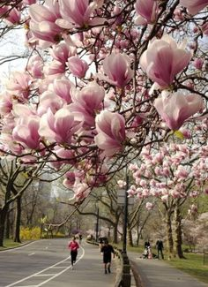 Magnolias in all their glory. Spring's finest! | Via Sud Ouest
