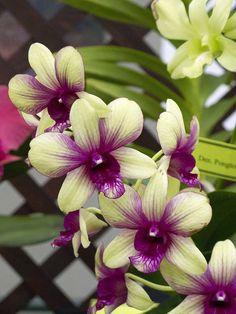 Intra-generic Orchid-hybrid: Dendrobium 'Burana Green' x 'Trudy Brandt' - Flickr - Photo Sharing!