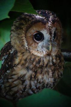 Tawny Owl (Strix aluco) from the Trabolgan bird of prey centre in Ireland Animal Spirit Guides, Spirit Animal, Strix Aluco, Nocturnal Birds, Tawny Owl, Funny Owls, Tier Fotos, Snowy Owl, Big Bird