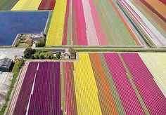 Holland's blooming tulip fields