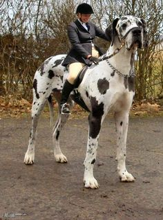 Tallest Dog in the World great Dog The Great Dane dog by the name of George is the tallest/largest dog ever recorded. George started out. Huge Dogs, Giant Dogs, Really Big Dogs, Largest Mastiff Breeds, Big Animals, Funny Animals, Pet Dogs, Dog Cat, Pets