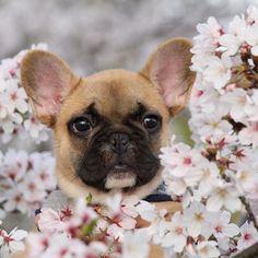 Kota, the French Bulldog Puppy, こたつ日記♬ 桜が似合う男の子^_^ #kota #bulldog