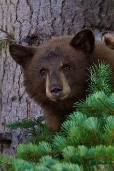 Bear Cub in Pine Tree by eaross