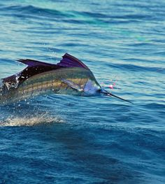 Beautiful Sailfish