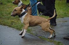 English Bull Terrier - how they should look!