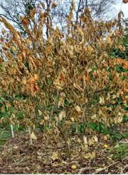 Freeze damage to citrus: how to assess and what to do.