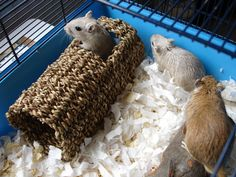 pictures of gerbils | Gerbils