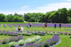 They own other fields, but the 21 acre location on Airport Rd is their main site and makes them the largest single-site lavender grower in the Midwest. Lavender Garden, Lavender Fields, Lavender Plants, Vacation Trips, Vacation Spots, Vacations, Towns In Wisconsin, Washington Island, Pole Barn House Plans