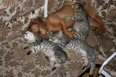 Even cats cannot resist Dachshund snuggles.
