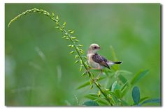 Gold-headed Cisticola...lovely