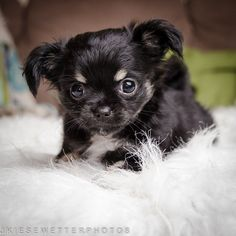 Black Chihuahua Puppy Photo, Dog Photograph, Pet Portrait, Cute Animal Portrait, Home and Wall Decor