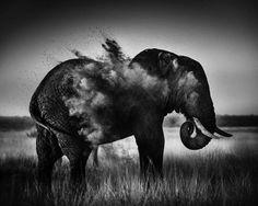 http://buzzly.fr/les-plus-beaux-cliches-noir-et-blanc-de-faune-africaine-signes-laurent-baheux.html