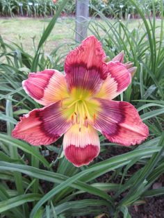 KALEIDOSCOPE PUZZLE - DAYLILY. One of my favorites of the Kaleidoscope series by Carpenter. This patterned eyed daylily was hybridized in 2010 and really turns heads in the display garden. Unique! #daylily