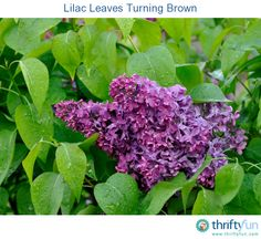 This is a guide about lilac leaves turning brown. It can be confusing trying to find the cause of leaves browning on a lilac. Determining the cause is important to treating your shrub.
