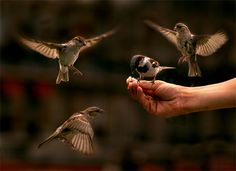 House Sparrows in flight.