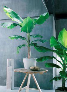Musa, alom bemind en bekend als de bananenplant, is living green design uit één stuk. Voor een exotisch interieur is Musa een must en een muze. Wereldwijd zijn er vele Musa-soorten te vinden en ook als kamerplant zijn er verschillende uiteenlopende karakters. Musa Bananarama heeft licht golvende bladeren en komt bijzonder nonchalant over. Andere kleine versies zijn Dwarf Chyla en 'Tropicana' die onder de 30 cm blijven en dus ideaal voor de vensterbank zijn.